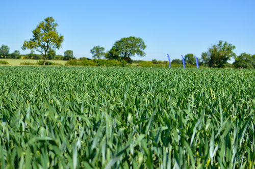 Persevere with Spring Cropping to control blackgrass