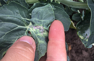 Think long-term for effective aphid control in brassicas