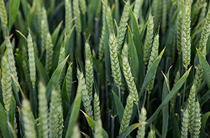 Sartorial's resilience powers it to top spot in wheat variety trial