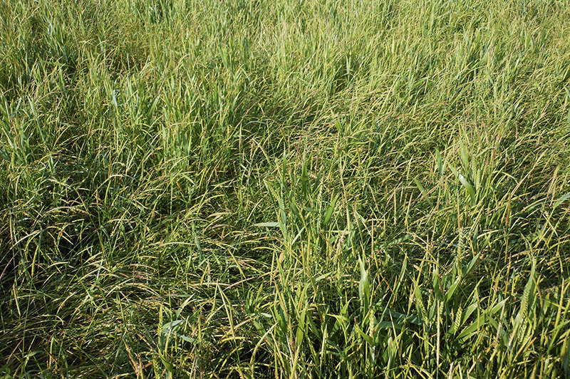 Grassweed Control - Hitting low dormancy blackgrass hard